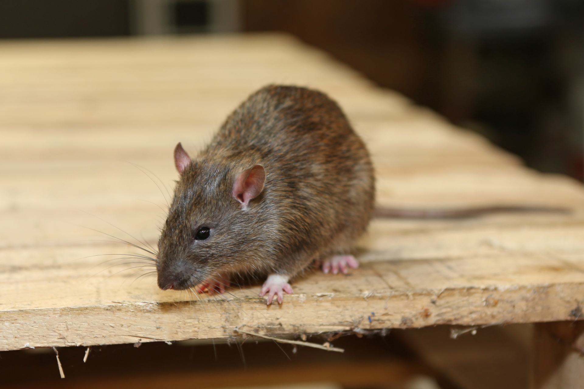 Rat extermination, Pest Control in Hounslow West, Hounslow Heath, Cranford, TW4. Call Now 020 8166 9746