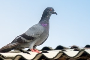 Pigeon Pest, Pest Control in Hounslow West, Hounslow Heath, Cranford, TW4. Call Now 020 8166 9746