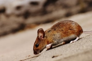 Mouse extermination, Pest Control in Hounslow West, Hounslow Heath, Cranford, TW4. Call Now 020 8166 9746